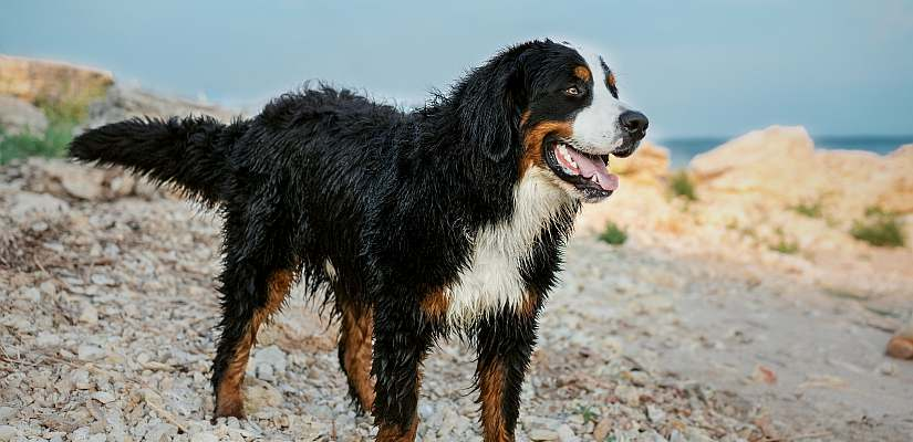 labrador berner sennenhund mischling